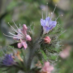 Echium italicum