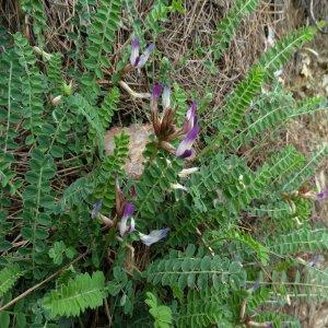 Astragalus schizopterus
