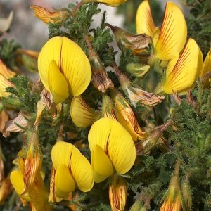Ononis natrix ssp.hispanica