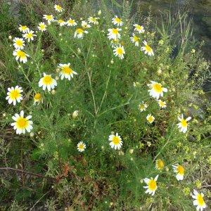 Glebionis coronarium Sin: Chrysanthemum coronarium