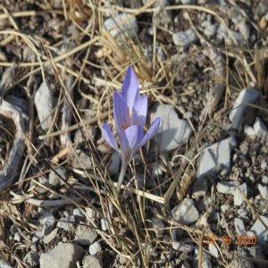 Crocus cancellatus subsp.cancellatus