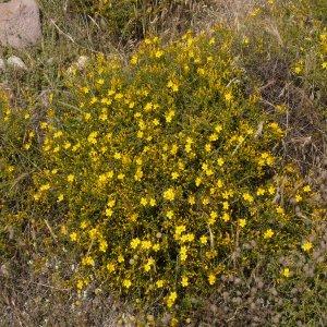 Hypericum heterophyllum
