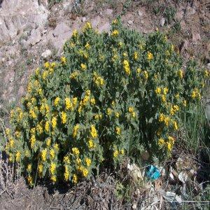 Alkanna orientalis var. orientalis