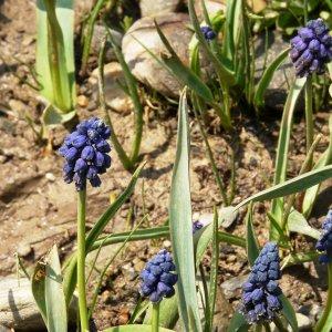 Bellevalia pycnantha Sin: Bellevalia paradoxum