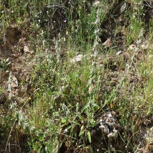 Stachys cretica ssp. smyrnaea