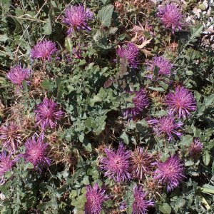 Centaurea urvillei var. stepposa