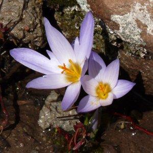 Crocus biflorus ssp. pulchricolor