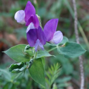 Lathyrus laxiflorus ssp. laxiflorus