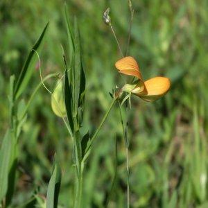 Lathyrus gorgoni var.gorgoni