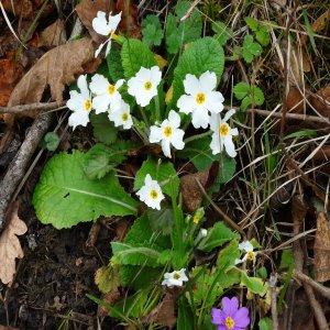 Primula acaulis ssp  acaulis; Primula vulgaris var. vulgaris
