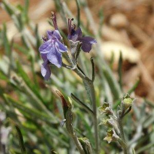 Teucrium sandrasicum