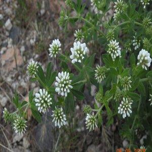 Dorycnium graecum