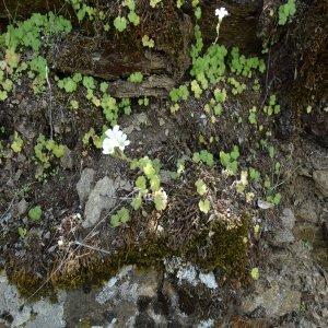 Saxifraga sibirica