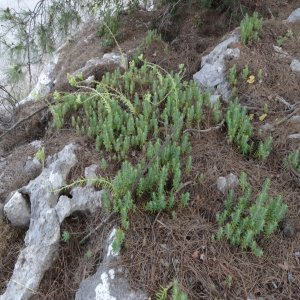 Sedum sediforme Sin:Sempervivum sediforme