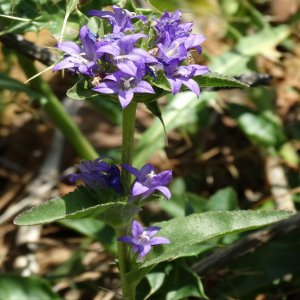 Campanula glomerata ssp. hispida
