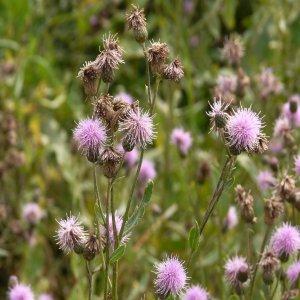 Cirsium arvense ssp. arvense