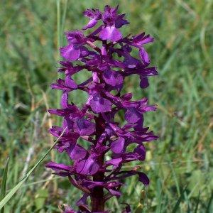 Orchis palustris sin. Anacamptis palustris