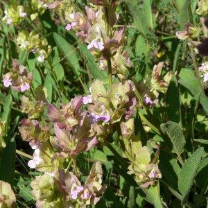Salvia absconditiflora; Sin:Salvia cryptantha