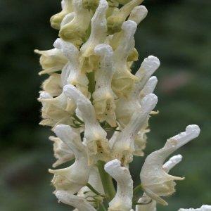 Aconitum orientale