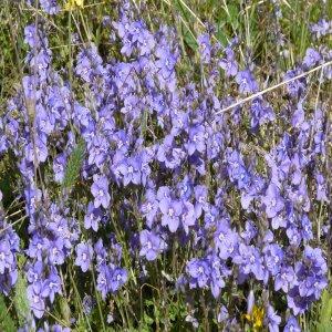 Veronica cuneifolia ssp. cuneifolia