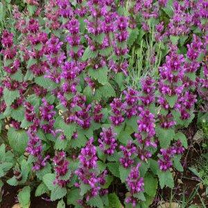 Wiedemannia orientalis Sin: Lamium orientalis