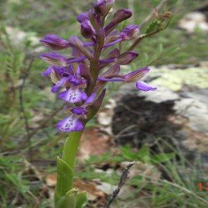 Orchis morio; Sin: Anacamptis morio