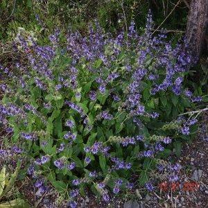 Salvia verticillata ssp. amasiaca