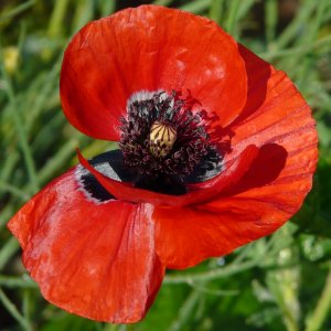 Papaver macrostomum