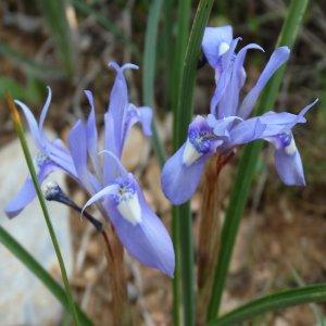 Gynandriris sisyinchium Sin: Moraea sisyrinchium