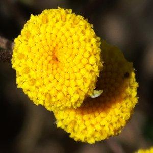 Tripleurospermum decipiens