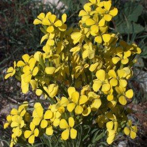 Erysimum pycnophyllum ssp. thyrsoideum Sin:Erysimum thyrsoideum