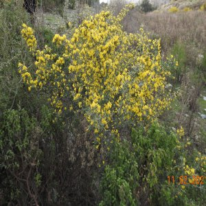 Calicotome villosa