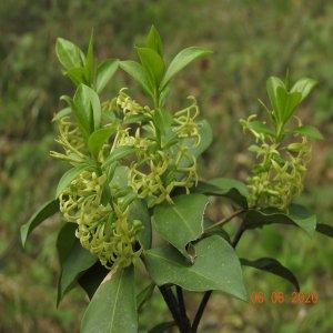 Daphne pontica ssp pontica