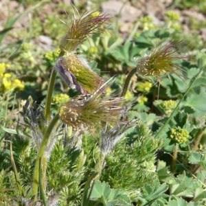 Pulsatilla albana ssp. armena