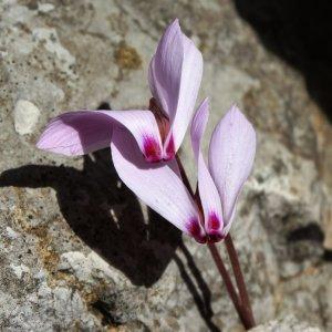 Cyclamen cilicicum (Cyclamen cilicium)