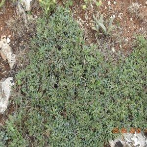 Globularia orientalis