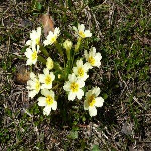 Primula acaulis ssp. acaulis Sin: Primula vulgaris ssp. vulgaris