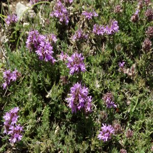Thymus zygioides var. lycaonicus