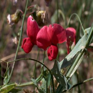 Lathyrus rotundifolius ssp. miniatus
