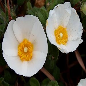 Cistus salviifolius