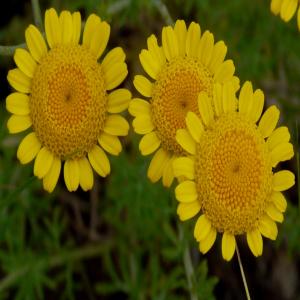 Anthemis tinctoria ssp. tinctoria