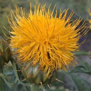 Centaurea thracica