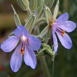 Erodium moschatum