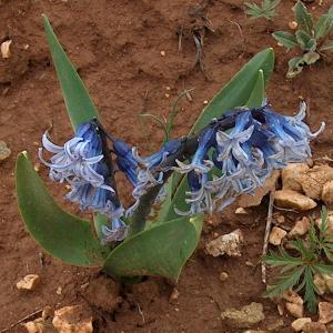 Hyacinthus orientalis var. chionophilus