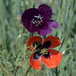 Roemeria hybrida ssp. hybrida
