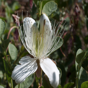 Capparis sicula var. herbacea Sin: C.ovata var. herbacea