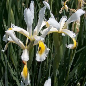 Iris kerneriana