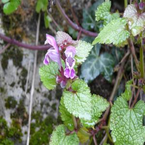 Lamium garganicum ssp. laevigatum