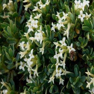 Daphne oleoides ssp. kurdica