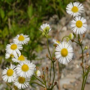 Erigeron caucasicus ssp. caucasicus